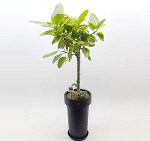 뱅갈고무나무 1호