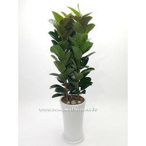 고무나무 12호