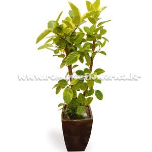뱅갈고무나무 8호