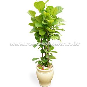 떡갈나무 10호