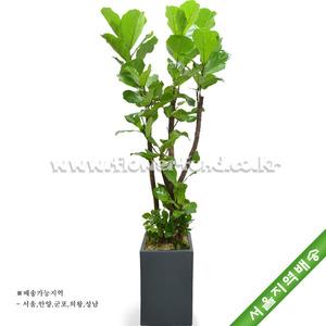 떡갈나무 9호