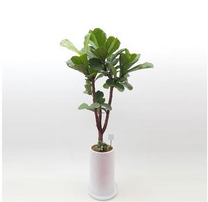 떡갈나무 1호