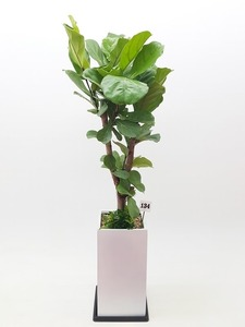 떡갈나무 2호