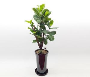 떡갈나무 3호