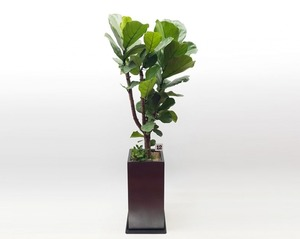 떡갈나무 4호
