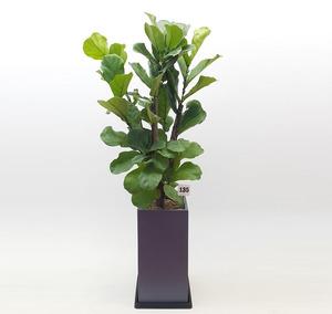 떡갈나무 5호